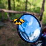Gula Pansy Butterfly på bakre sikt arkivfoto