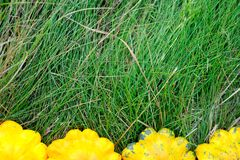 Gula Pattypan squashar på gräs Royaltyfria Bilder