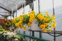 Gula petuniablommor som hänger i en kruka Royaltyfri Foto
