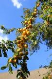 Gula plommoner på tree Royaltyfri Foto