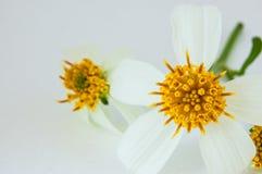 Gula pollen Royaltyfri Fotografi