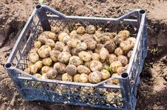 gula potatisar för nytt barn i en ask på fältnärbilden, jordbruk, lantbruk, grönsaker, miljövänlig produkt royaltyfria foton