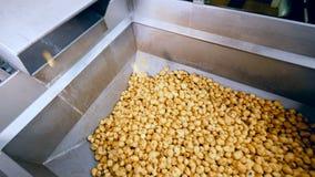 Gula potatisar som lagras i en metallbehållare på en matväxt som faller från en transportör arkivfilmer