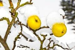 Gula äpplen som hänger i ett skalligt träd som täckas med snö Royaltyfri Bild