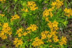 Gula prärievildblommor som blommar i vår royaltyfri fotografi