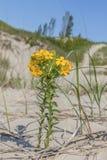 Gula Puccoon som växer i ett sötvattens- ekosystem för sanddyn - Ont arkivbild