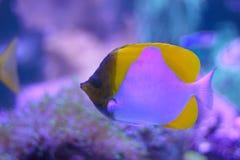 Gula pyramidbutterflyfish i ett akvarium royaltyfri foto