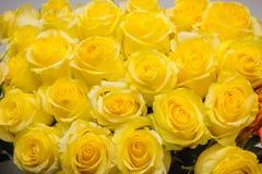Gula ro Det är mycket gula rosor Arkivfoton