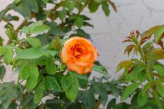 Gula rosa rosor som blommar i trädgården arkivfoton