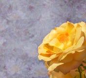Gula Rose Flower för beklagande royaltyfri foto