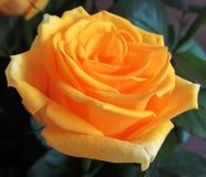 Gula rosor blommar, stänger sig upp, buketten som är blom- Arkivfoto