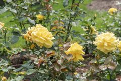 Gula rosor i trädgården arkivbilder