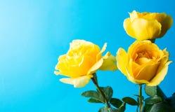 Gula rosor mot blå bakgrund Arkivfoto