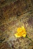 Gula rosor mot en gammal vägg royaltyfria foton