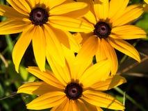 Gula Rudbeckiaconeflowers, svart-synade-susans blommor, makro arkivbilder