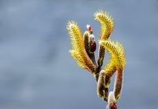 Gula Salixcapreaklockpendlar och röd Pussypil i blom som täckas i pollen Arkivfoton