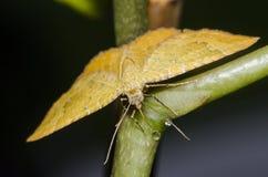 Gula Shell Moth Drinking Water Royaltyfria Bilder