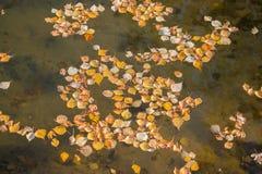 Gula sidor av björken som svävar i sjön Guld- höst royaltyfria bilder
