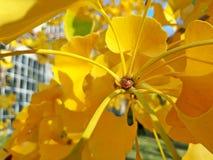 Gula sidor av Ginkgobilobaen på en filial mot bakgrunden av växthuset i botaniska trädgården arkivfoto