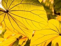 Gula sidor för höst i solljuset arkivbilder