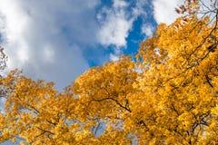 Gula sidor och nedgånglövverk mot en blå himmel och vita moln, på en klar solig höstdag i Upstate New York arkivbild