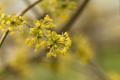 Gula skogskornellblomningblommor Blommande skogskornell blommar riktigt till bakgrunden av trädgården arkivfoto