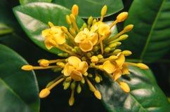 Gula små blommor som omges av små gula knoppar Arkivfoto