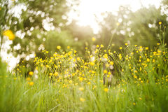Gula smörblommor i gräset Arkivfoto