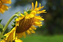 Gula solrosor för härliga blommor i sommar Arkivfoton