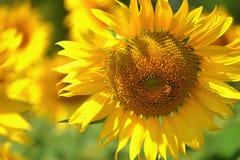 Gula solrosor för härliga blommor i sommar Royaltyfri Bild