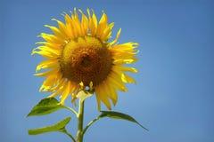 Gula solrosor för härliga blommor i sommar Royaltyfri Foto