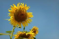 Gula solrosor för härliga blommor i sommar Arkivbild