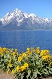 Gula solrosor inramar en blå sjö och snöar korkade berg. Royaltyfria Bilder
