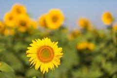 Gula solrosor mot den blåa himlen royaltyfria bilder