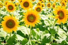 gula solrosor på fält i Val de Loire arkivfoto