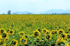 Gula solrosor som blommar till och med fälten Arkivfoto