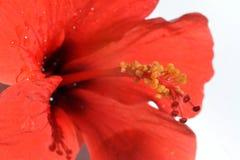Gula stamens på en röd mortelstöt av hibiskusen blommar royaltyfria bilder