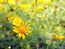 Gula Tickseed Coreopsisblommor Royaltyfria Bilder