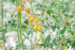 Gula tomater i grönt hus royaltyfri fotografi