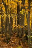 Gula träd över en lantlig väg royaltyfri bild