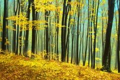 Gula träd i en dimmig skog under nedgång Royaltyfri Fotografi