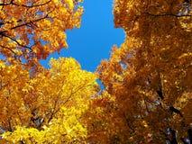 Gula träd mot den blåa himlen arkivbild