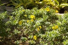 Gula tropiska blommor i trädgården Fotografering för Bildbyråer