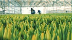 Gula tulpan för folk som mot efterkrav arbetar i ett stort växthus stock video