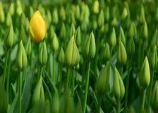 Gula tulpan, gräsplanknoppar fotografering för bildbyråer