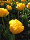 Gula tulpan, Hyde Hall Garden, April Arkivfoton
