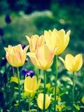 Gula tulpan i en trädgård Arkivbild