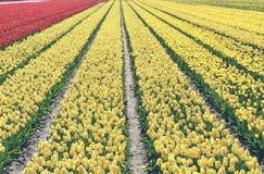 Gula tulpan i ett fält Dessa blommor sköts i Holland Nederländerna nära Sassenheim royaltyfri bild