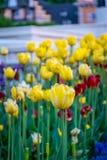 Gula tulpan i trädgården med nöjesfältet i bakgrund royaltyfri bild
