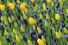 Gula tulpan och blåa druvahyacinter i ett fält royaltyfri foto